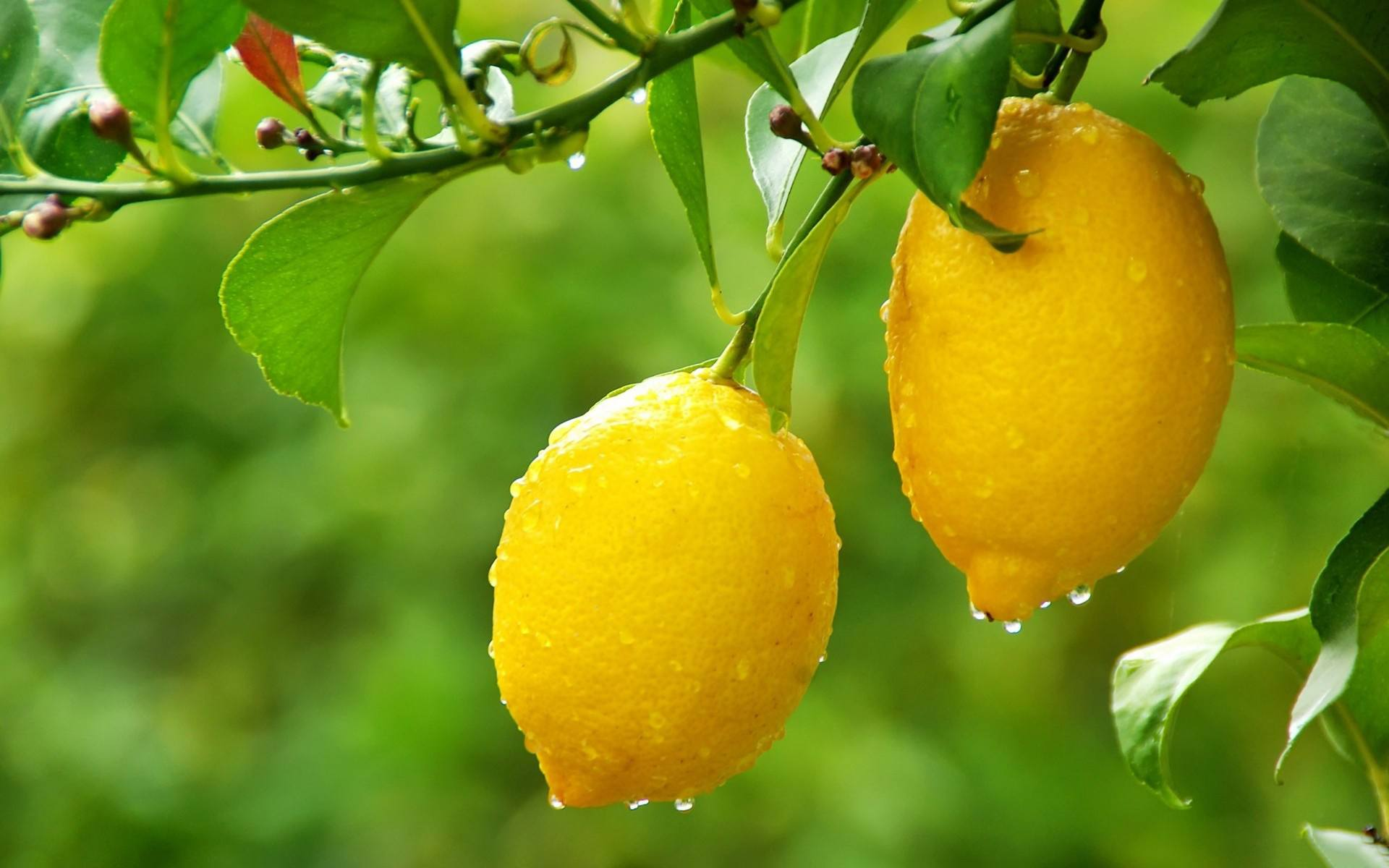 7-fruits that detox our body lemon 2
